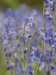 Bluebells in Perivale Wood with shallow depth of field